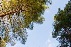Die Oberteile Kiefer gegen blaue Himmel Stockfoto