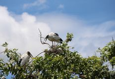 Die offene berechnete Storchvogelstange im Nest an der Spitze des Baums auf blauem Himmel und weißem Wolkenhintergrund stockfotos