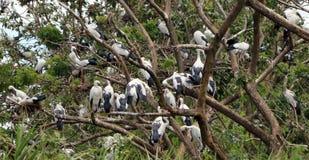 Die offene berechnete Storchvogelstange im Nest und auf der Niederlassung des Baums lizenzfreie stockbilder