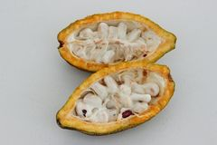 Die offene Frucht der Kakaobohne lizenzfreie stockfotografie