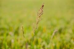 Die Ohren der Toten auf einem Gebiet von üppigen grünen Skalen schauten depr Lizenzfreie Stockfotografie