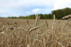Die Ohren des Weizens während der Erntenahaufnahme Stockfotografie
