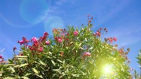 Die Oleanderbüsche gegen den klaren Himmel im Herbst Lizenzfreie Stockfotografie
