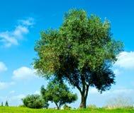 Die Oliven Lizenzfreies Stockbild