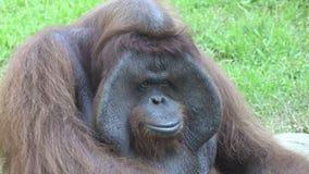 Die Orang-Utans buchstabierten auch Orang-Utan, orangutang oder das Orang-Utan-utang, das in der Klasse Pongo klassifiziert wurde stock footage