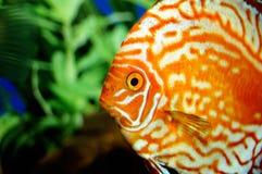 Die orange Fische lizenzfreie stockfotos