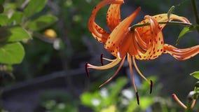 Die orange Lilie blühte stock video footage