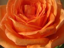 Die orange Rose ist mit Tau naß Stockbild