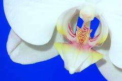 Die Orchidee Stockbild