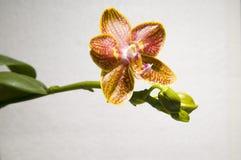 Die Orchidee lizenzfreie stockfotos