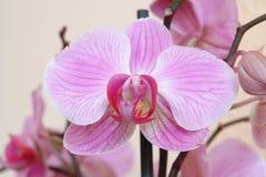 Die Orchidee Stockbilder
