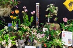 Die Orchideen, die nach Australien und Papua-Neu-Guinea an einer Orchidee gebürtig sind, stellen dar lizenzfreie stockbilder