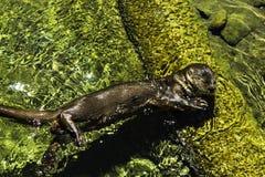 Die Otter Royalty-vrije Stock Afbeeldingen
