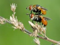 Die Paare der Fliege Lizenzfreies Stockbild