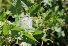 Die Paarung des Kohlweißschmetterlinges mit zwei Schmetterlingen auf einem Hintergrund von Wiesen Lizenzfreies Stockbild