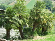 Die Palmen lizenzfreies stockbild