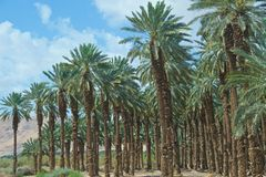 Die Palmen, die in Judean wachsen, verlassen in Israel Lizenzfreie Stockbilder
