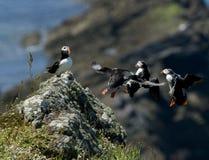 Die Papageientaucher, die auf einen Felsen fliegen, hocken Stockbilder