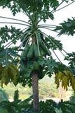 Die Papaya. Stockfoto