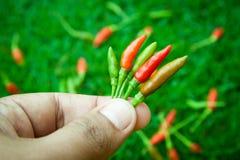 Die Paprikapfeffer am frischsten und am heißesten, an Hand und Rasen Stockfotografie