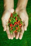 Die Paprikapfeffer am frischsten und am heißesten, an Hand und Rasen Lizenzfreies Stockfoto