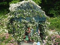 Die Peggy Rockefeller Rose Garden 13 Stockfoto