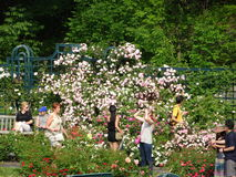 Die Peggy Rockefeller Rose Garden 15 Lizenzfreie Stockfotos