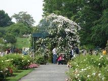 Die Peggy Rockefeller Rose Garden 35 Lizenzfreies Stockbild