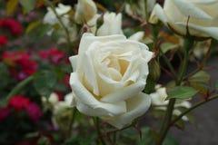 Die Peggy Rockefeller Rose Garden 60 Lizenzfreie Stockbilder
