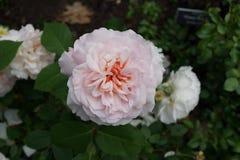 Die Peggy Rockefeller Rose Garden 61 Lizenzfreie Stockfotos