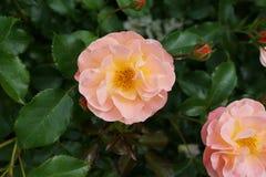 Die Peggy Rockefeller Rose Garden 64 Lizenzfreies Stockbild