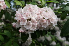 Die Peggy Rockefeller Rose Garden 68 Stockbild