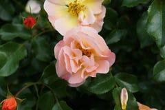 Die Peggy Rockefeller Rose Garden 69 Stockfotografie