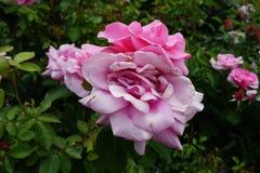 Die Peggy Rockefeller Rose Garden 77 Stockfoto