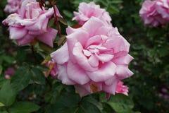 Die Peggy Rockefeller Rose Garden 79 Lizenzfreie Stockbilder