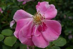 Die Peggy Rockefeller Rose Garden 82 Stockfoto