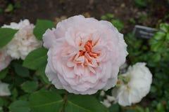 Die Peggy Rockefeller Rose Garden 84 Stockbild