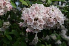 Die Peggy Rockefeller Rose Garden 87 Stockbild