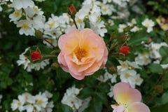 Die Peggy Rockefeller Rose Garden 91 Lizenzfreies Stockbild