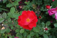 Die Peggy Rockefeller Rose Garden 93 Lizenzfreie Stockfotos