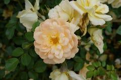 Die Peggy Rockefeller Rose Garden 98 Lizenzfreie Stockfotografie