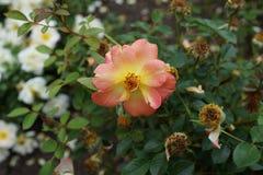 Die Peggy Rockefeller Rose Garden 99 Lizenzfreies Stockfoto