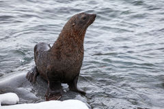 Die Pelz-Dichtung, die auf den Felsen sitzt, wusch sich durch Ozean, die Antarktis Stockbilder