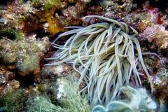 Die Perlenanemone, Actinia equina Stockbild