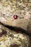 Die Perlenanemone oder das Actinia equina Stockfotografie