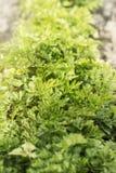 Die Petersilie, die auf einem Bett am sonnigen Tag wächst Abschluss oben Gemüsehintergrund horizontal Petrosel? ï ¿ ½ numerisch A lizenzfreie stockfotos