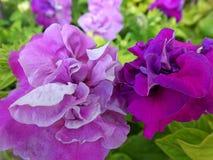 Die Petunienblumen Lizenzfreie Stockfotografie