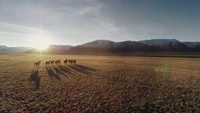 Die Pferde, die frei in Wiese mit Schnee laufen, bedeckten Gebirgshintergrund mit einer Kappe stock video footage