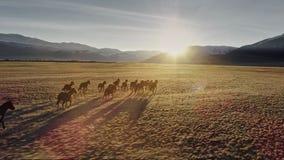 Die Pferde, die frei in Wiese mit Schnee laufen, bedeckten Gebirgshintergrund mit einer Kappe stock video