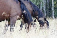 Die Pferde weiden lassen auf einer Wiese Lizenzfreies Stockfoto